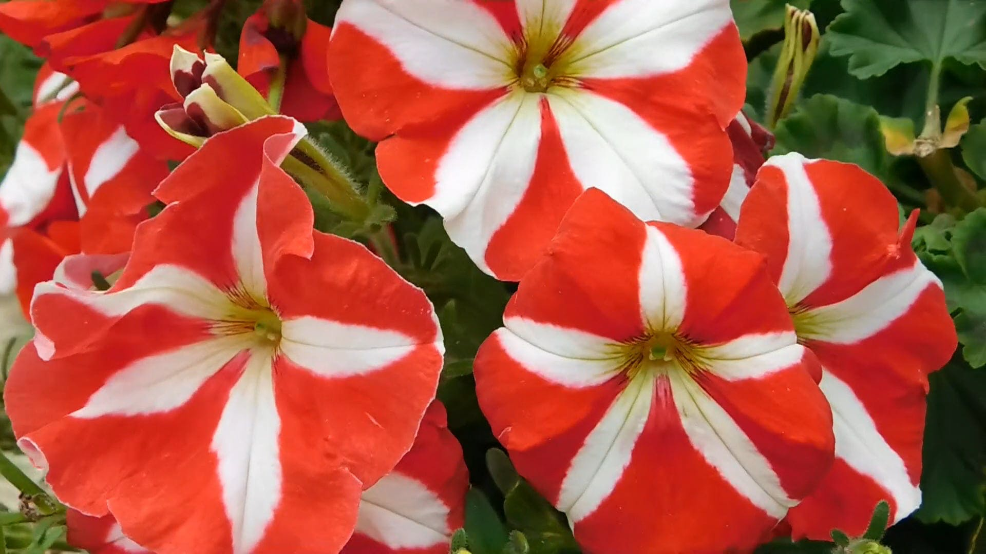 Red and White Striped Flowers