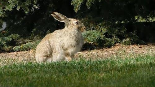 Jackrabbit Belongs to Hare Family