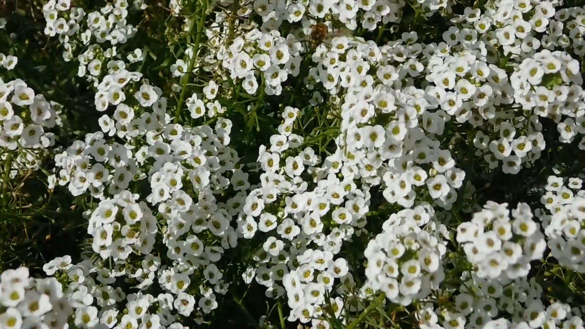 Video OfWhite Flowers