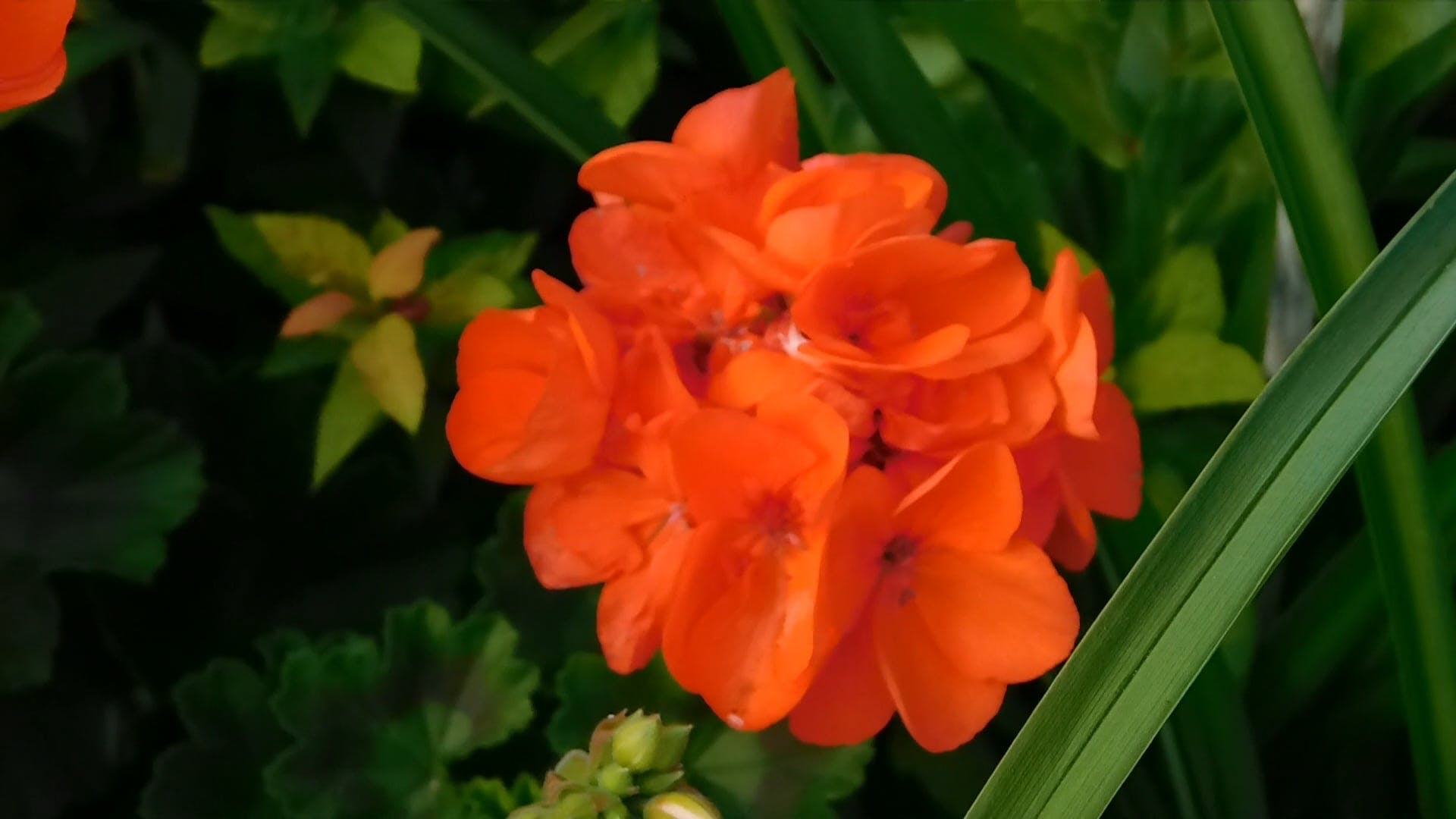 Close-Up Video Of Orange Flowers