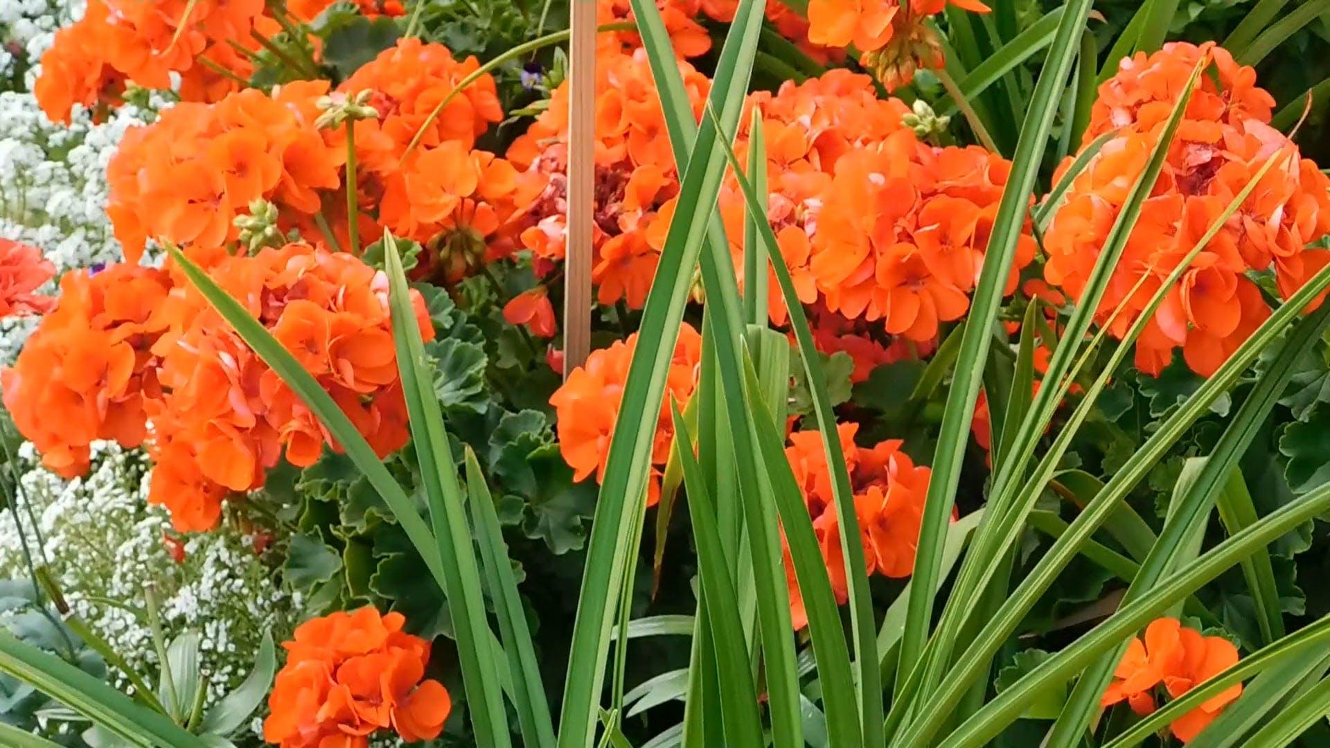 Video of Beautiful Orange Flowers