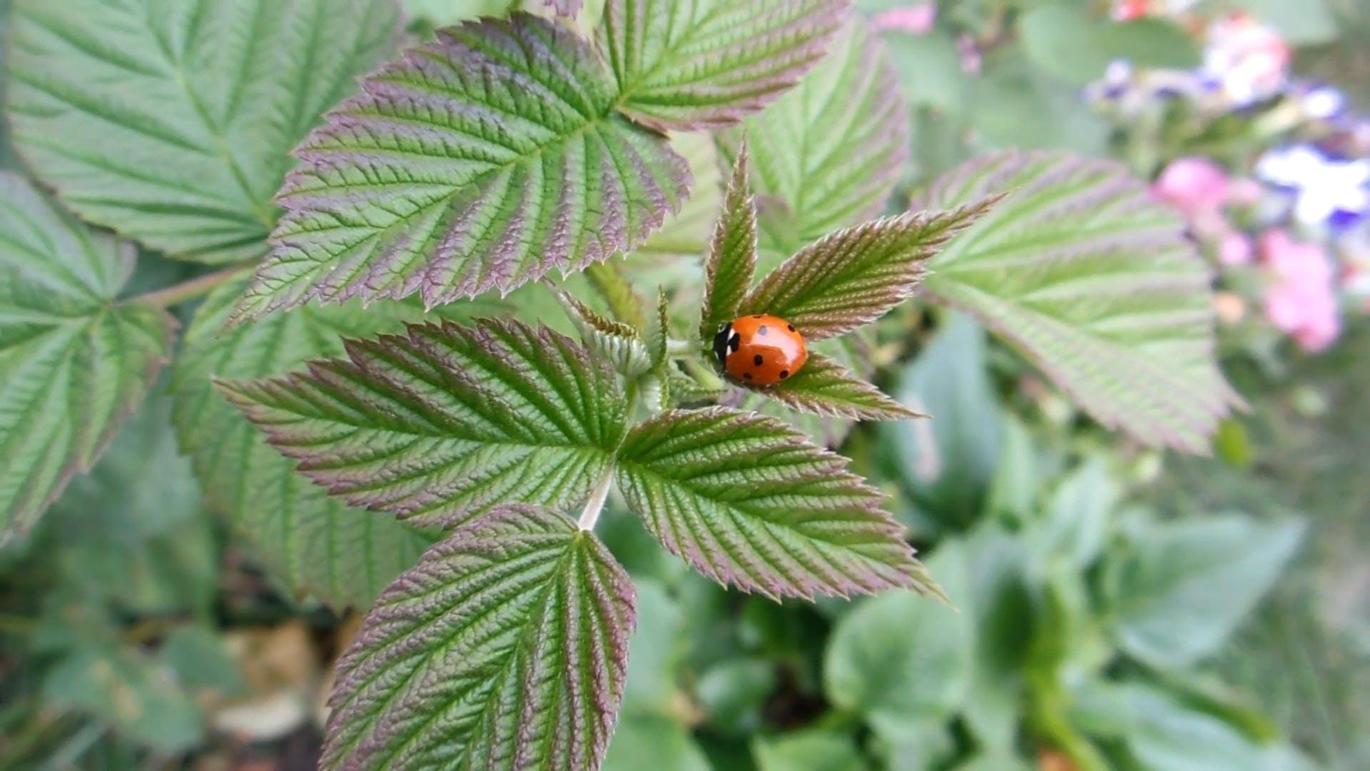 Close-Up Video of Ladybug on Leaves