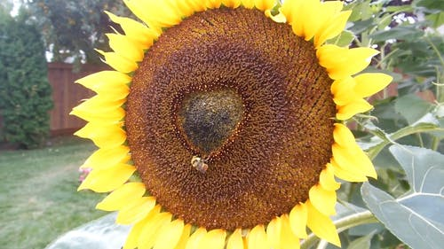 Sunflower And A Bee In The Center