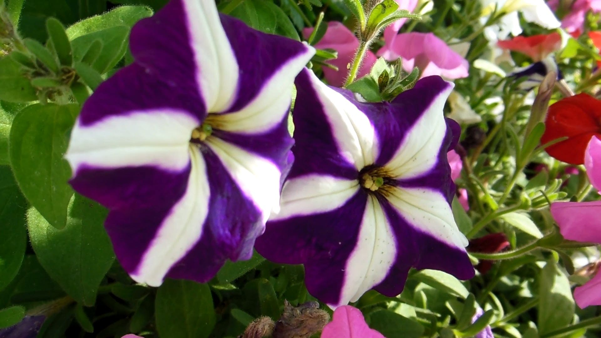 Purple Flowers With White Stripes