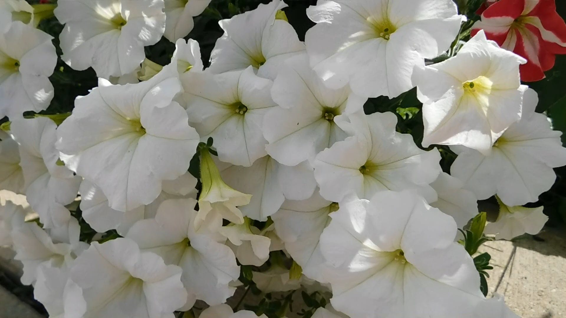 White Petunias In Bloom
