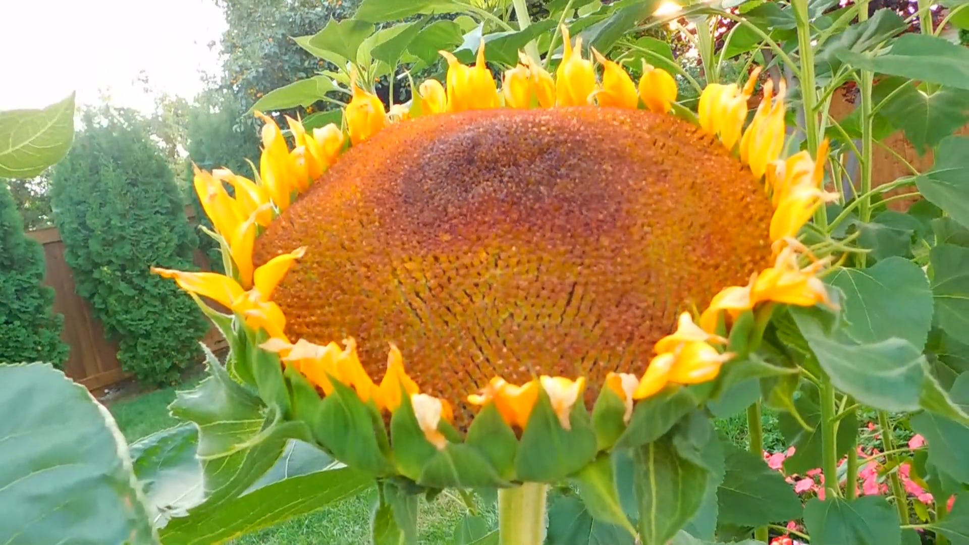 The Sunflower At The End Of Bloom