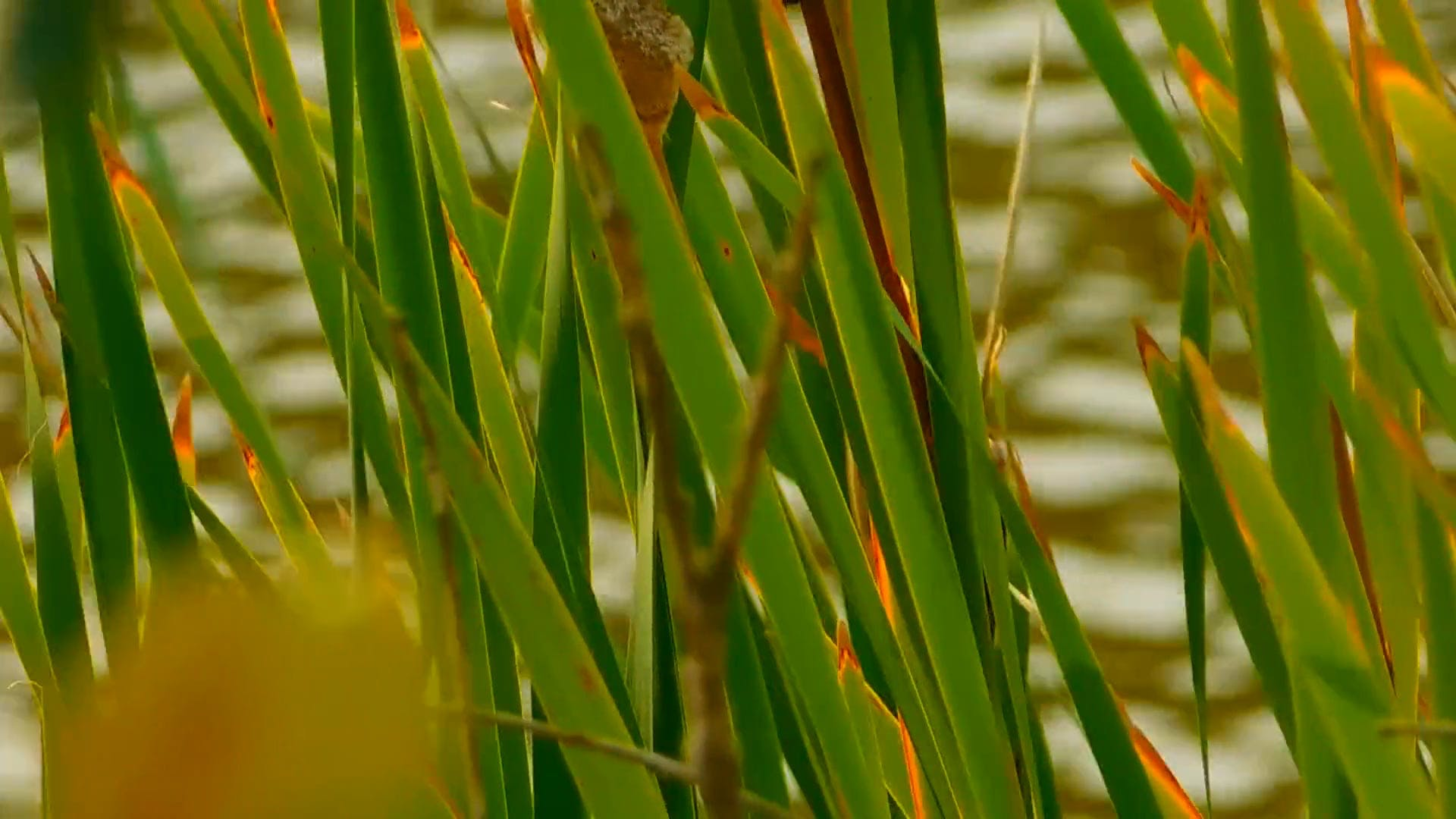 Close-up View Of Cattails
