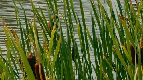 Cattails On The Lakeside