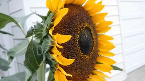 Beauty Of The Sunflower