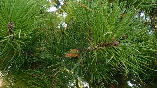 Long Needles Of A Spruce Tree