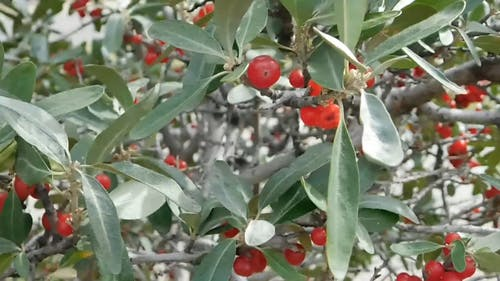A Berry Plant Along Roadside
