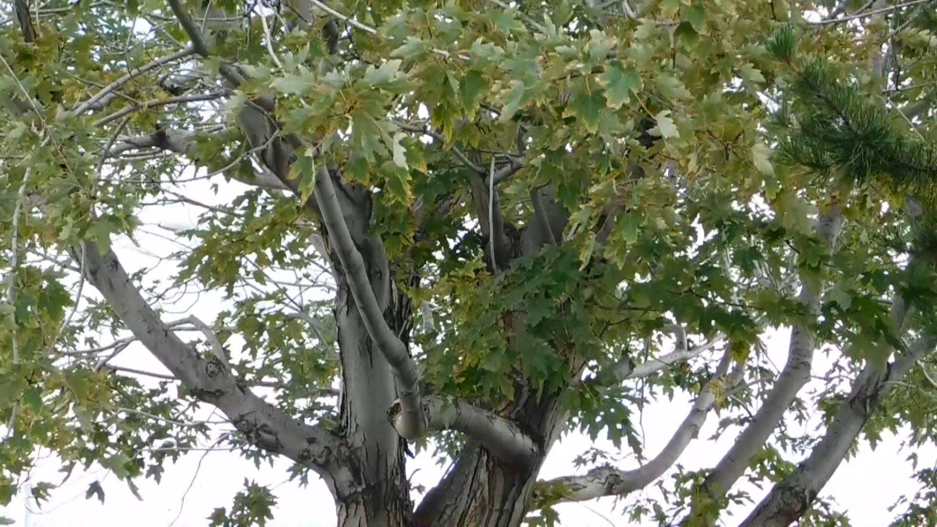 Alberta Maple Tree
