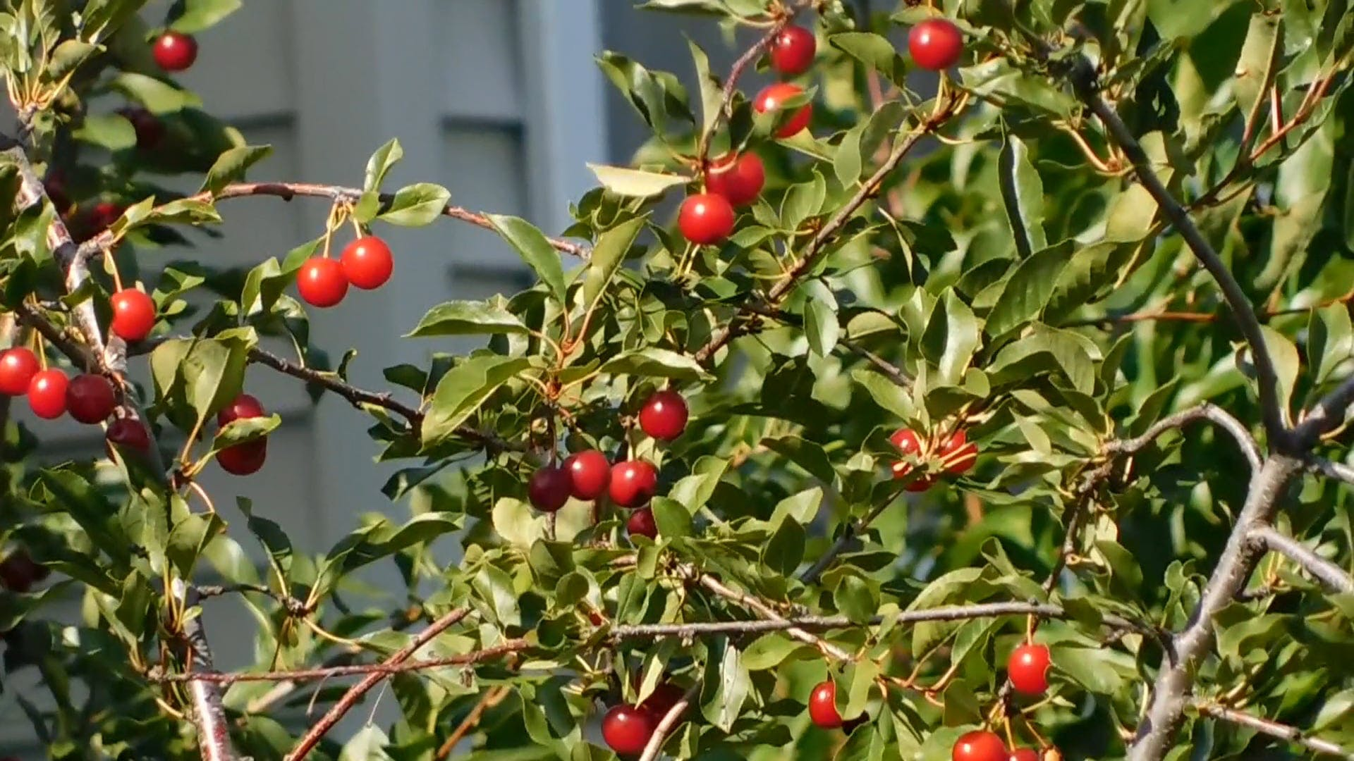 Red Fruit-Bearing Tree