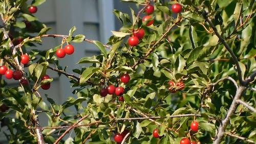 Red Fruit-Bearing Tree