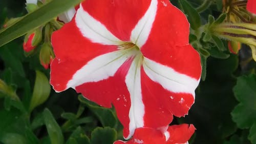 Flower With White Stripes
