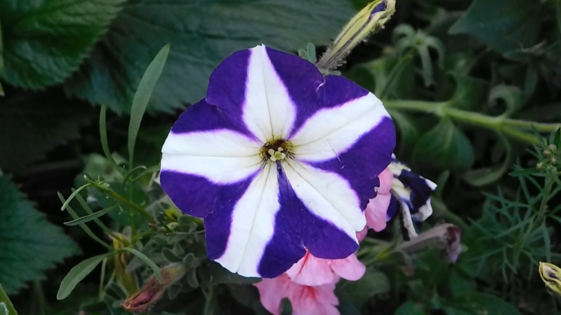 Purple Flower With White Stripes