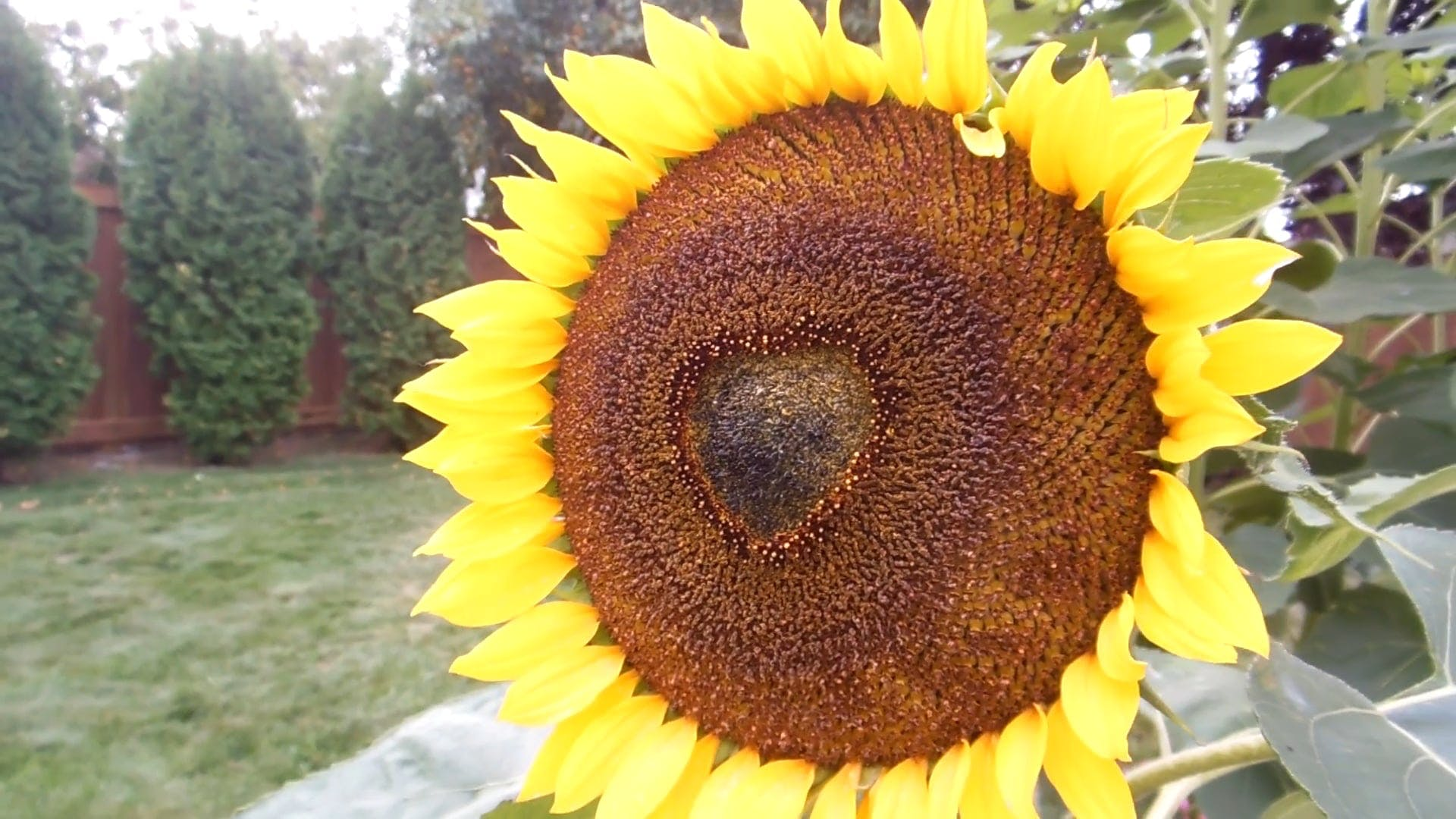 A Special Sunflower With A Heart