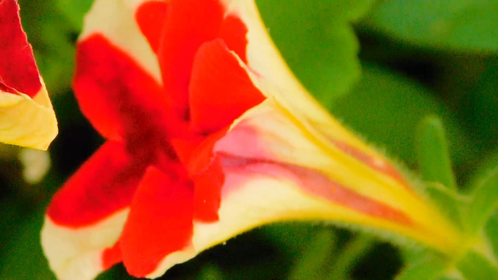 Flower Video In Macro