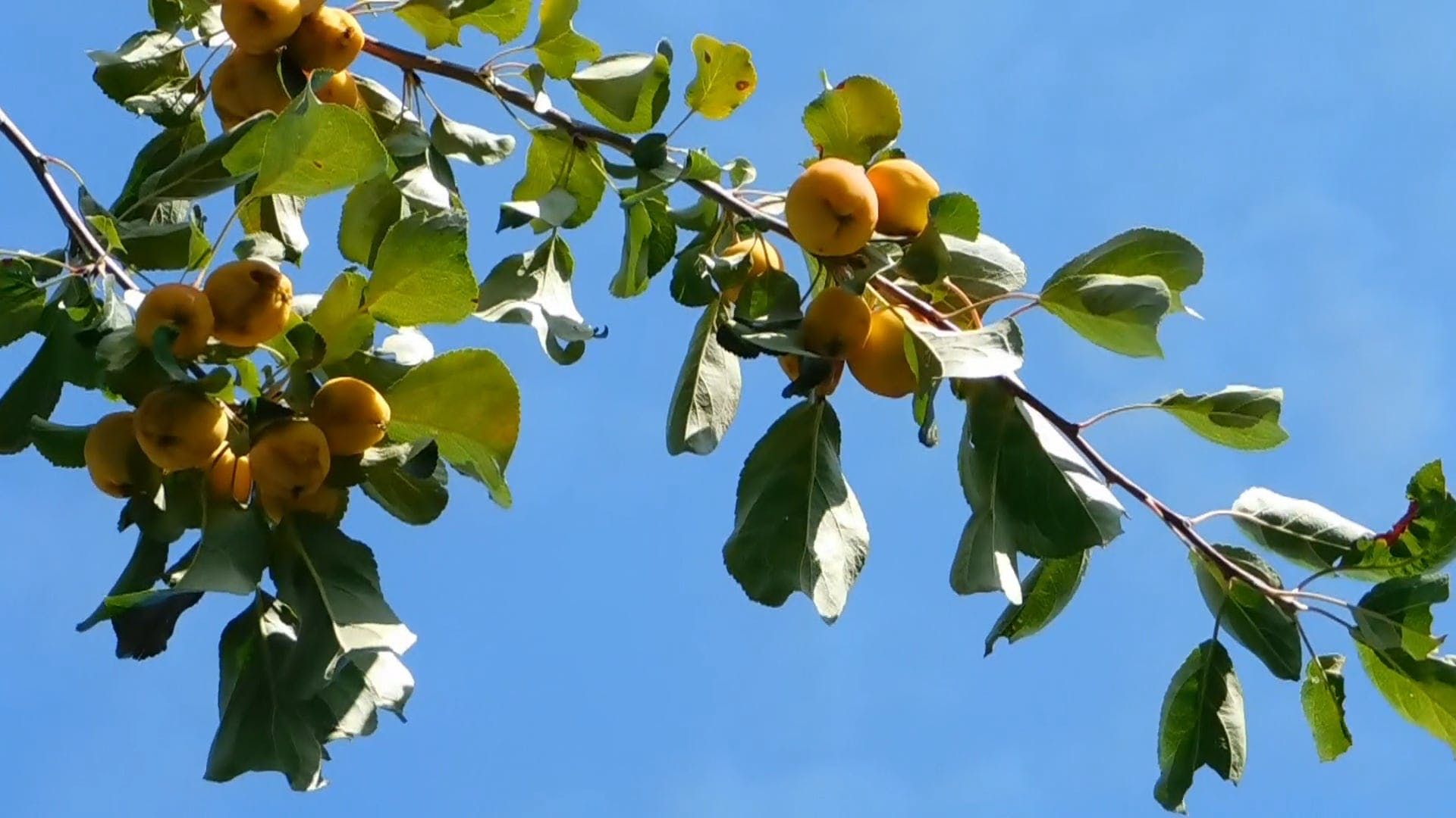 Yellow Fruits On A Tree Branch