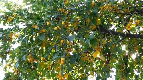 A Tree With Yellow Fruits