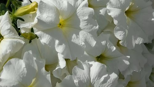 Close-Up Video Of White Flowers