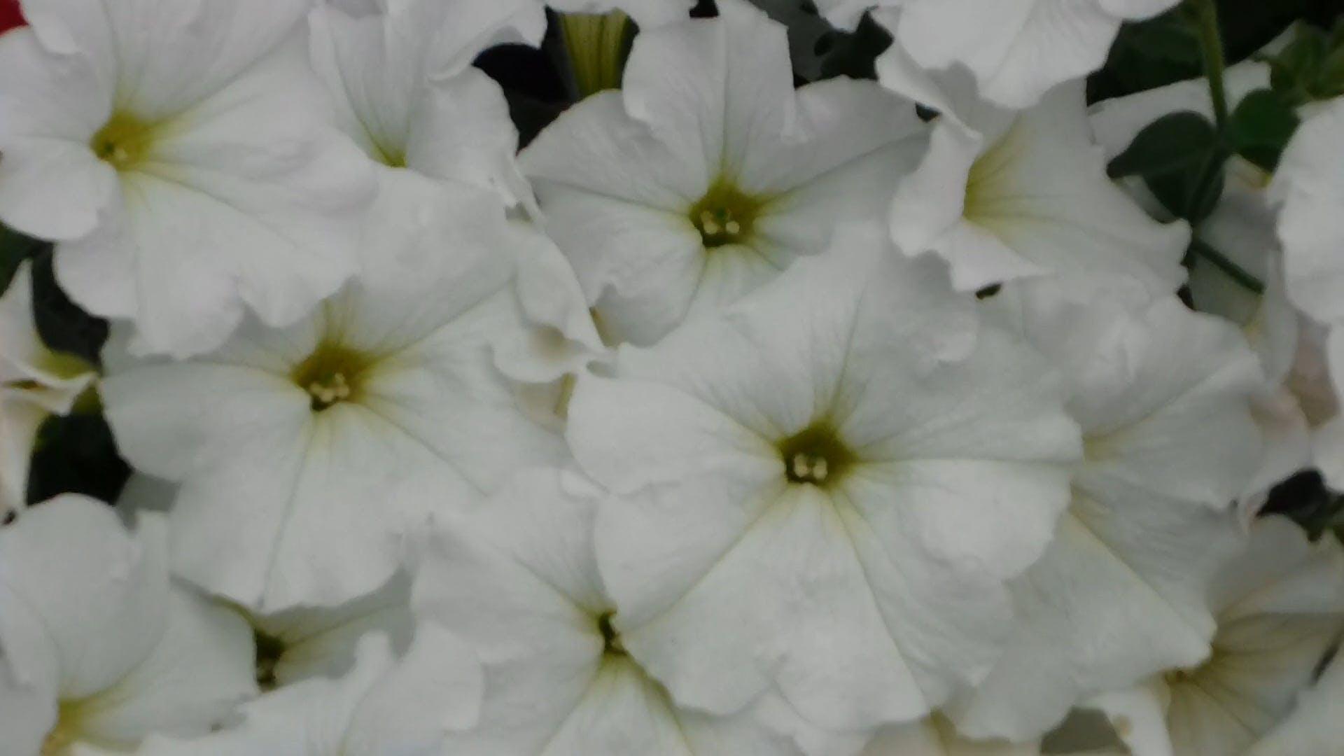 White Petunia Blooms