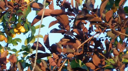 Fruit-Bearing Tree With Brown Leaves