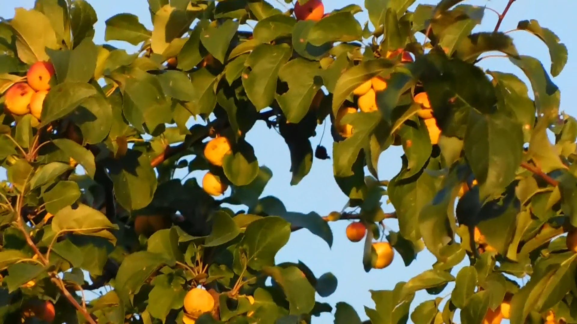 Tall Tree With Yellow Fruits