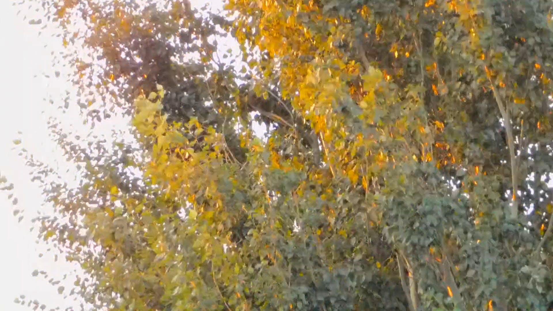 Golden Sun Reflection On Leaves