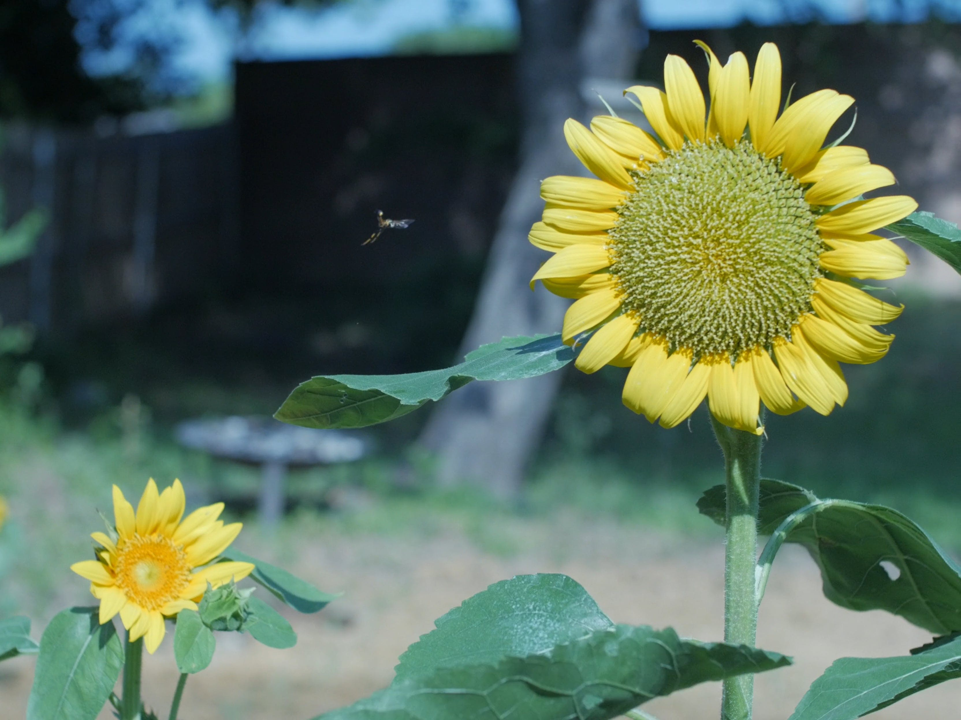 Blooming Sunflowers in the Garden