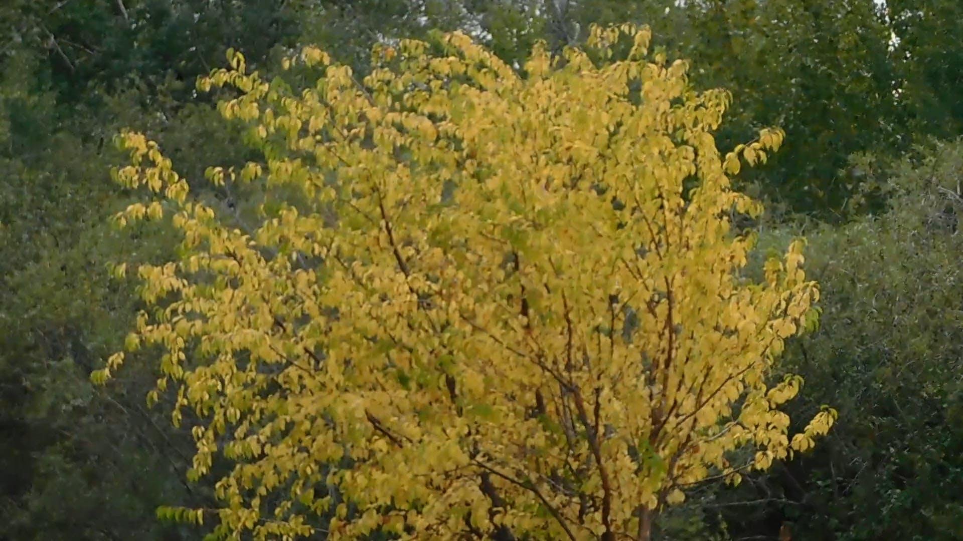 A Single Golden Tree