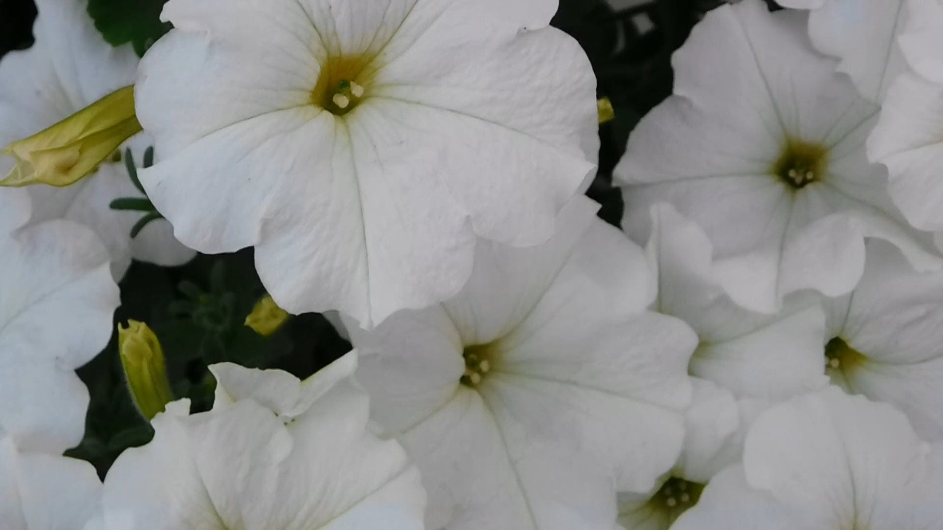 White Flowers Are Beautiful