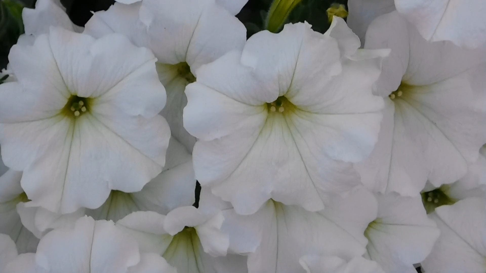 Bunch Of White Blooms