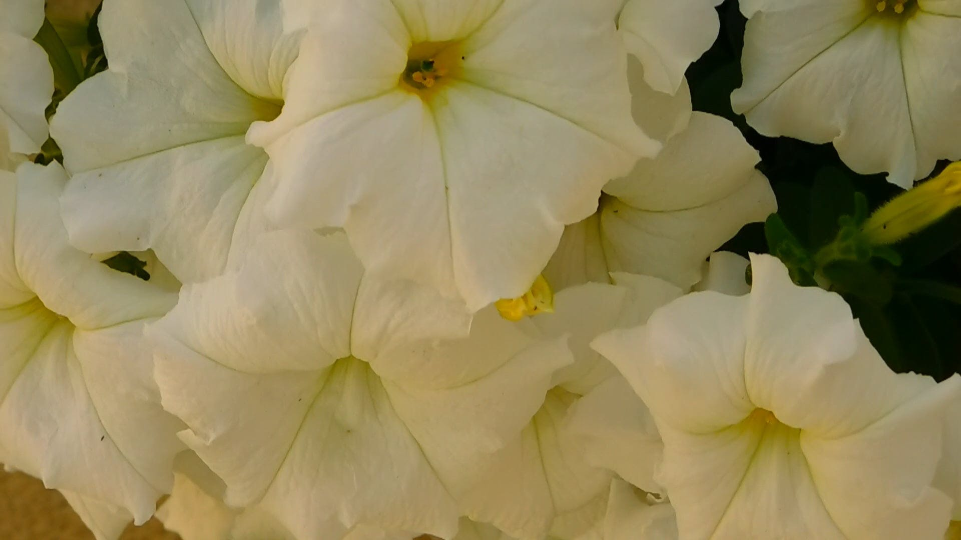 White Beautiful Petunias