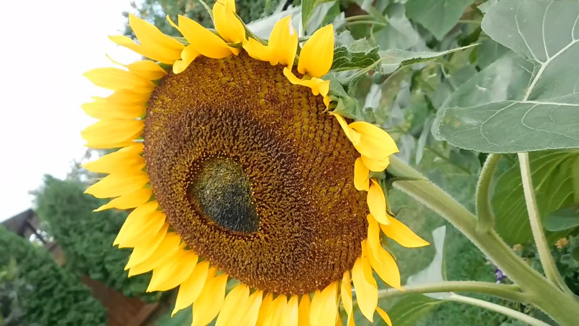 Sunflower With An Angle Shot