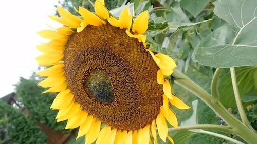 Sunflower With An Angle Shot