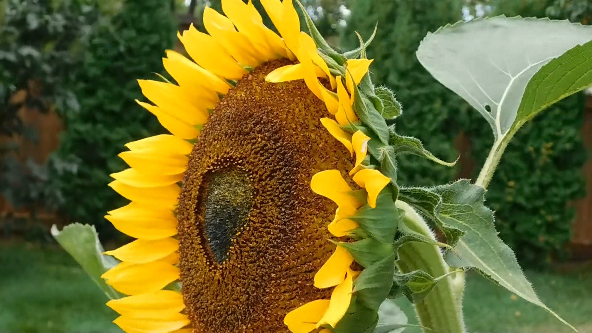Sunflower On A Windy Day