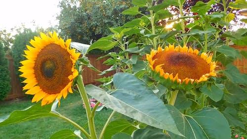 Beautiful Bloom Of Sunflowers