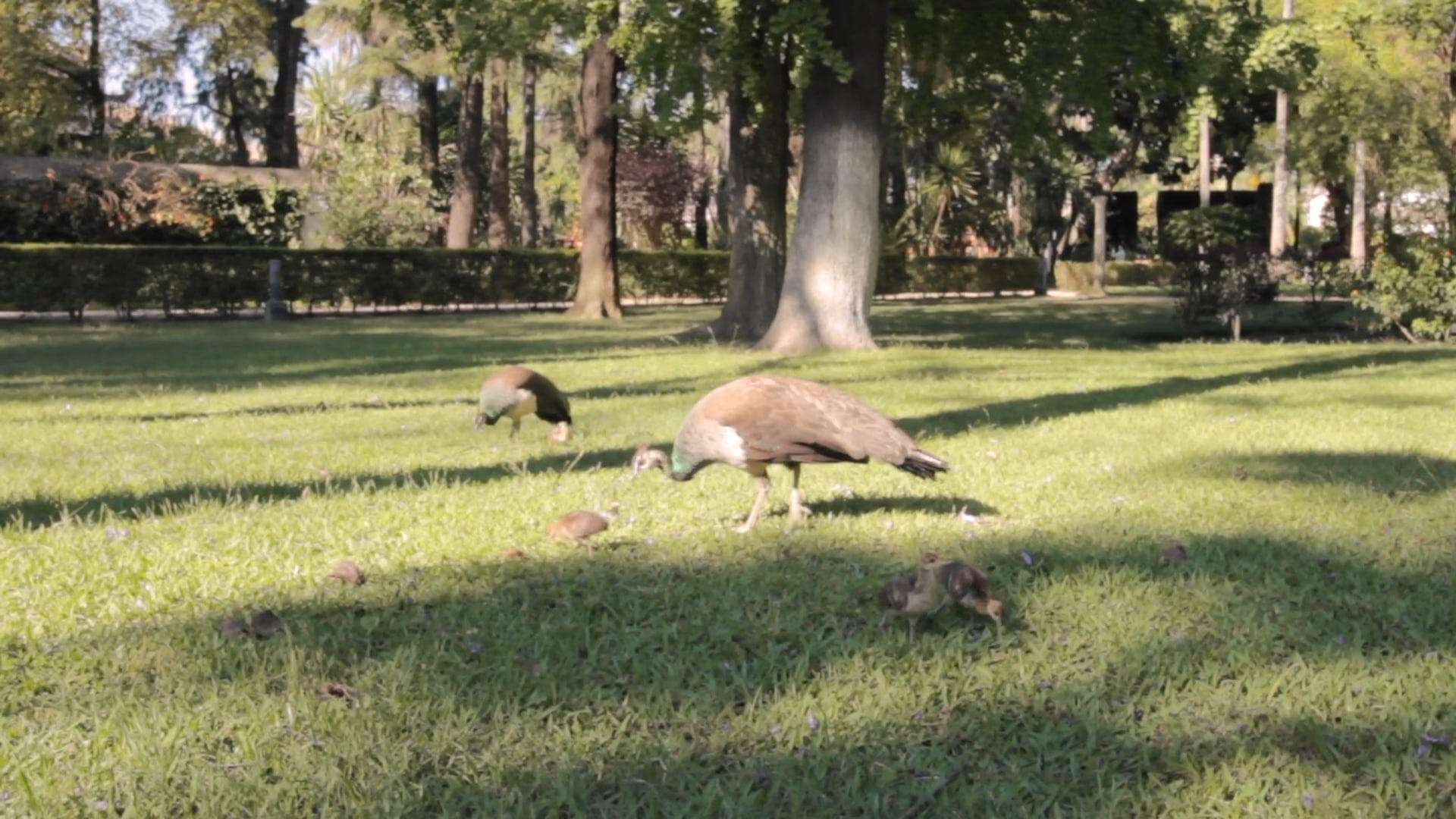 Peacocks Feeding On Grass