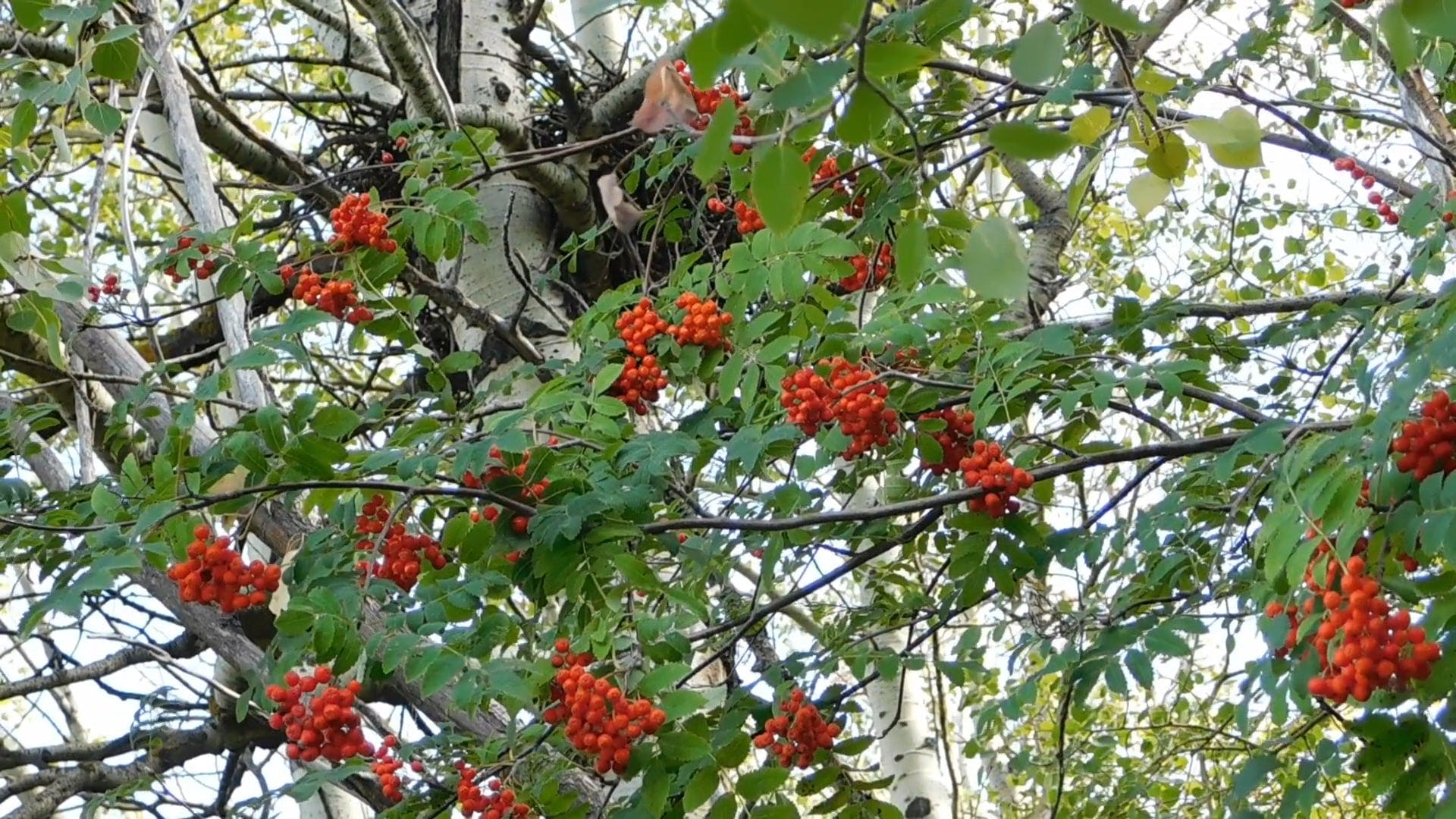Tree With Red Fruits