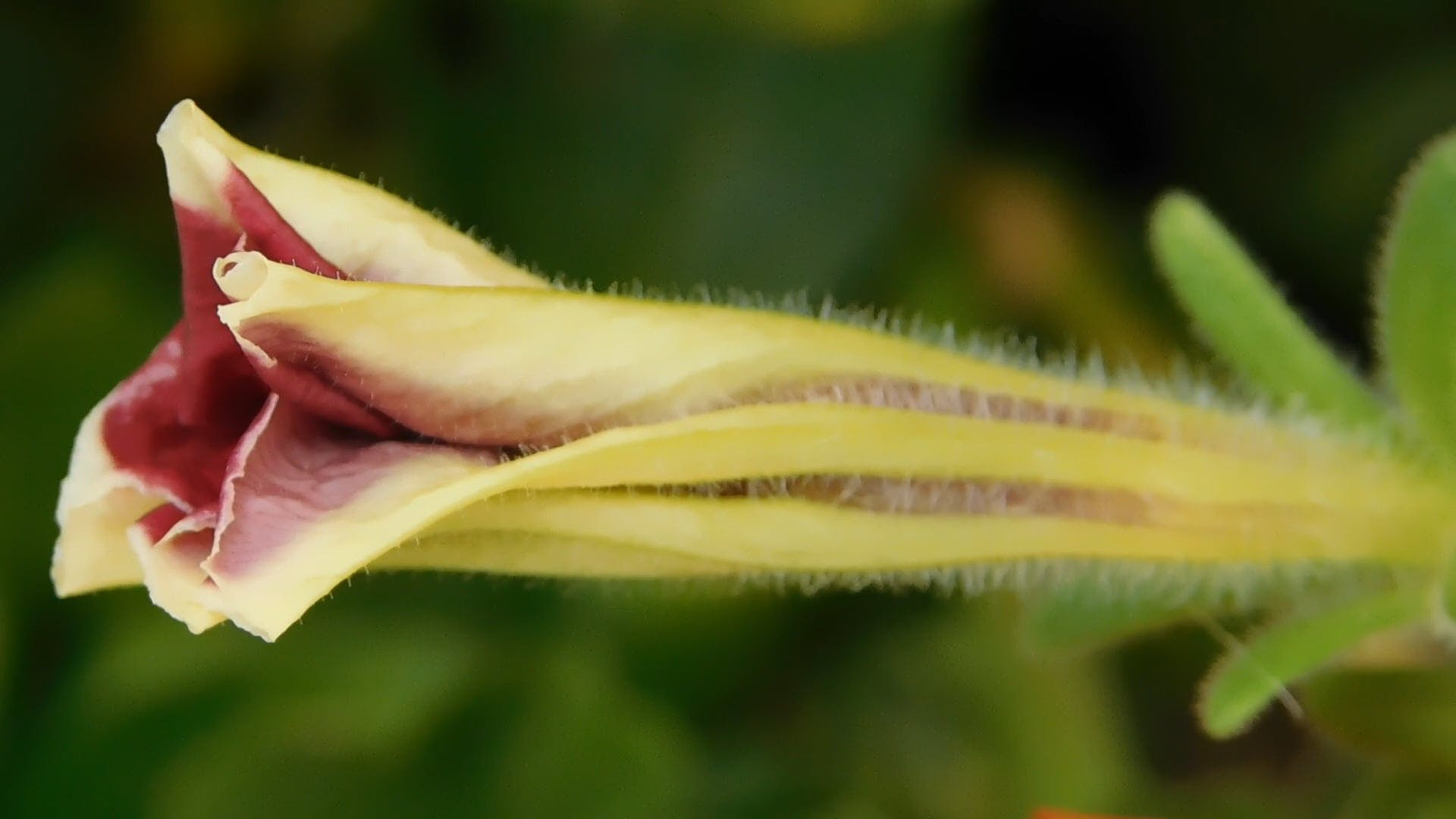 Close-up of a Flower Bud