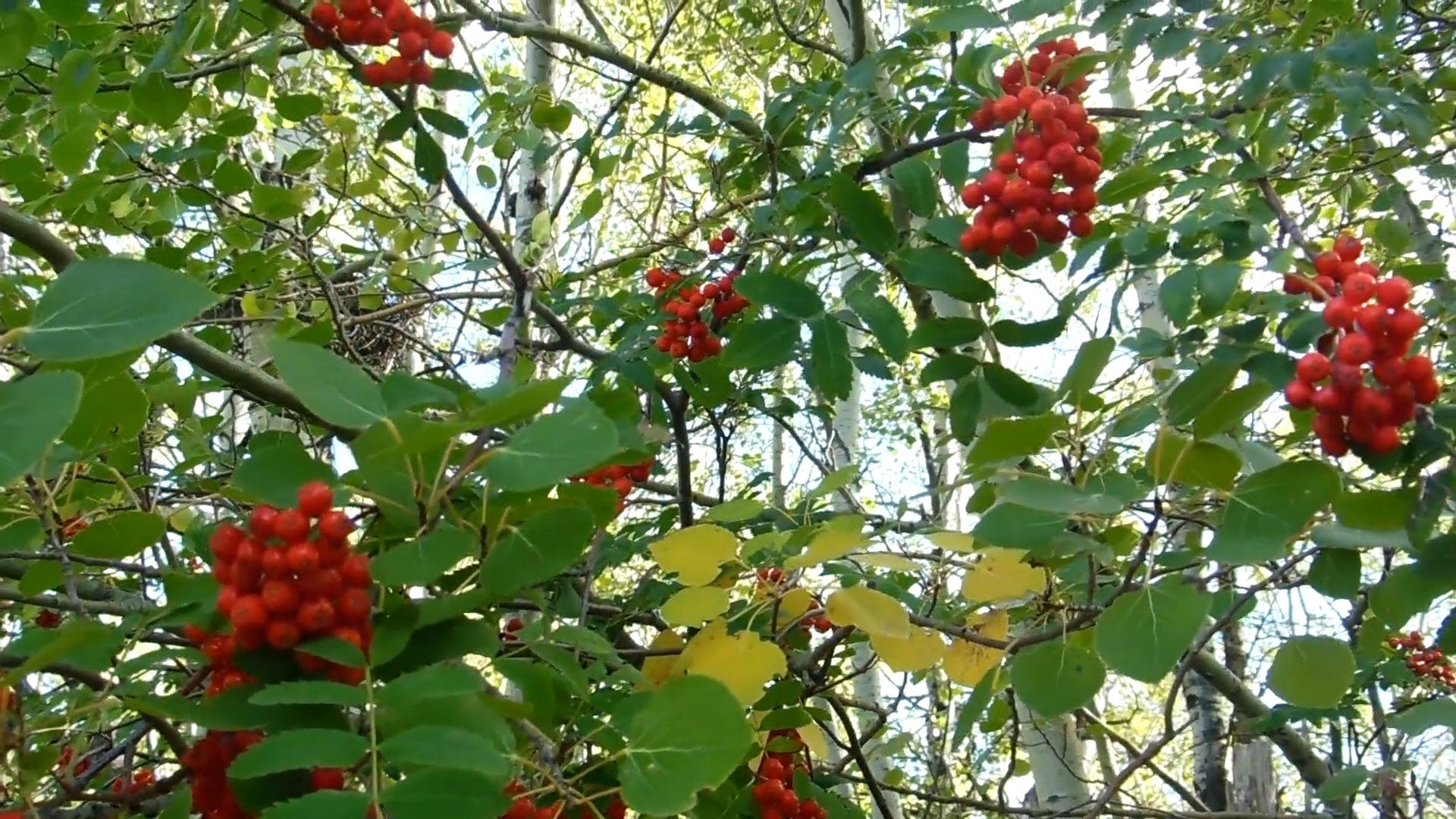 Mountain Ash Tree With Berries
