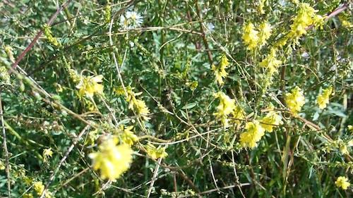 Alberta Yellow Wild Sweet Clover