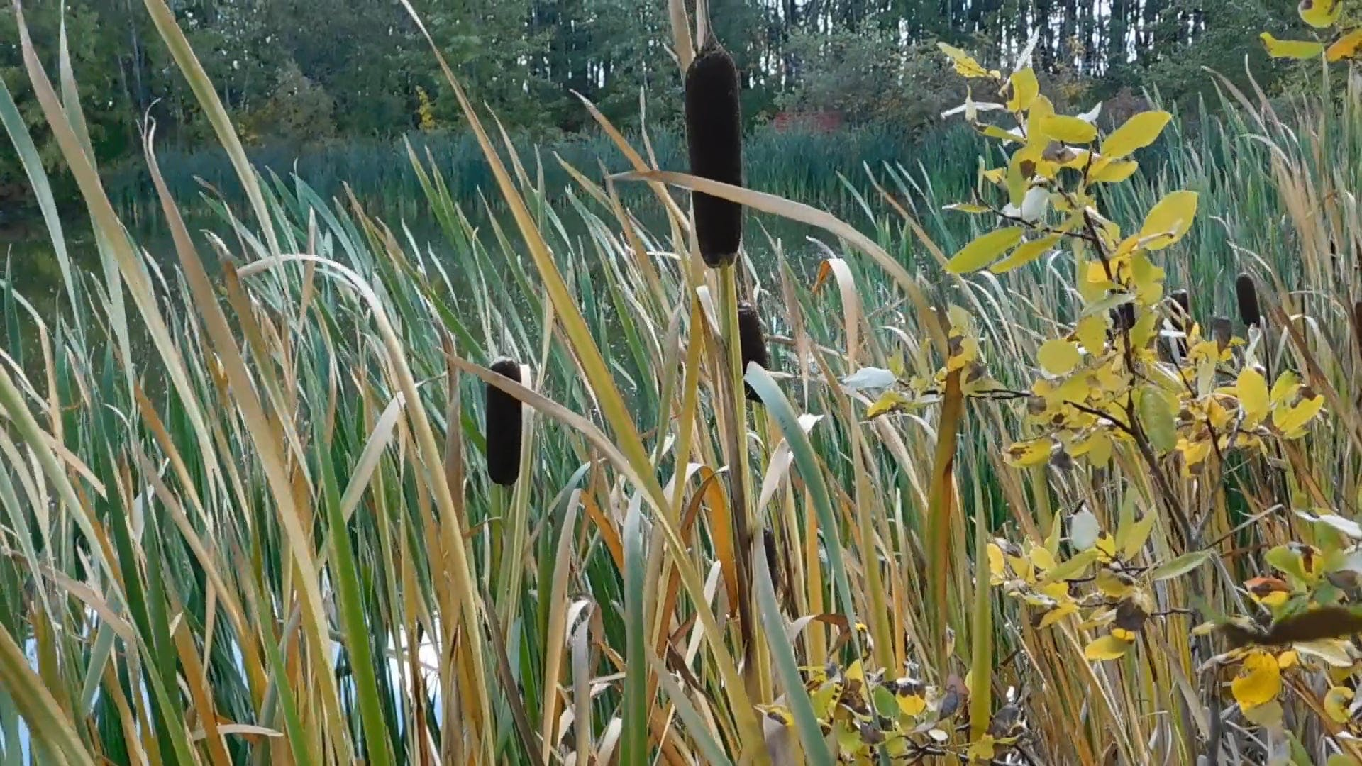 Cattails And Grass Near A Lake