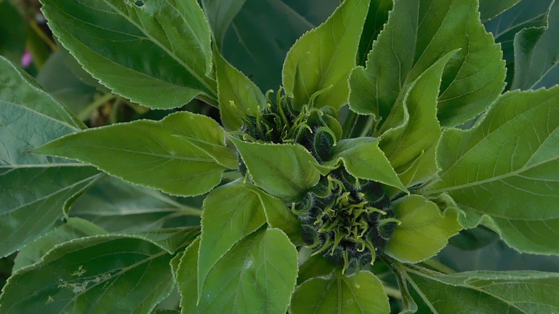 Twin Sunflower Bulbs
