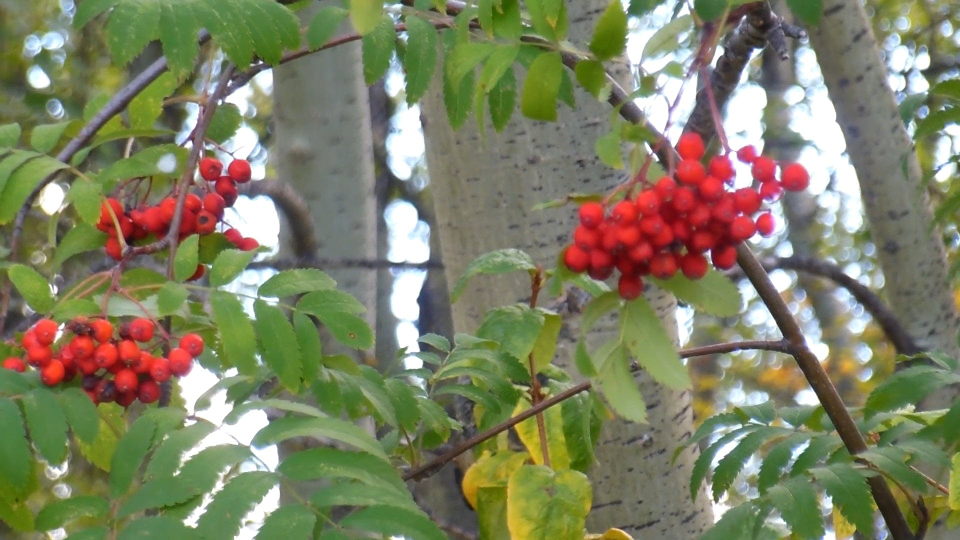 Red Berries Of A Tree