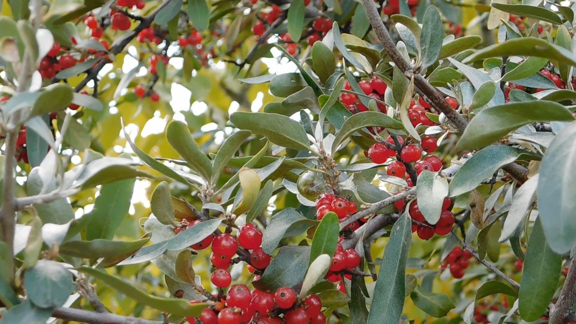 Alberta Sea Buckthorn Berries