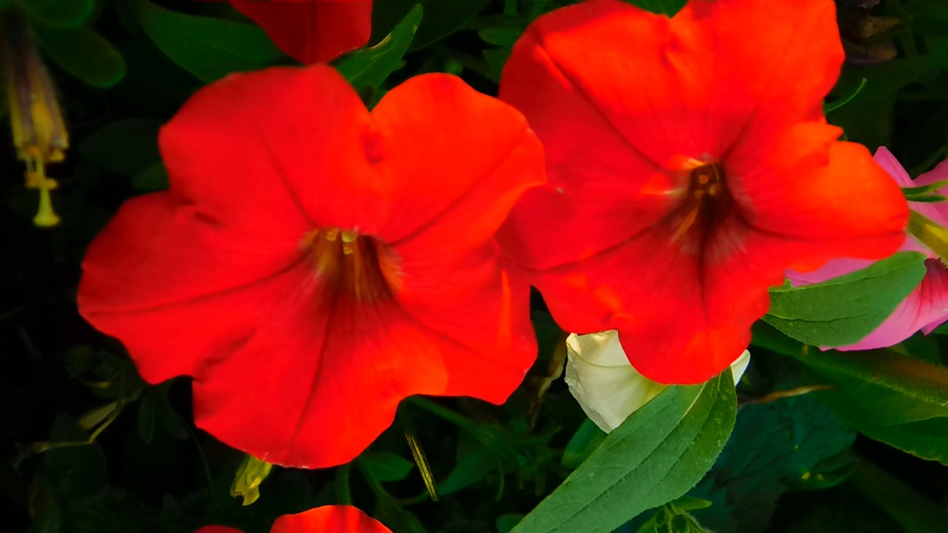 Close-Up Video of Red Petunia Flowers