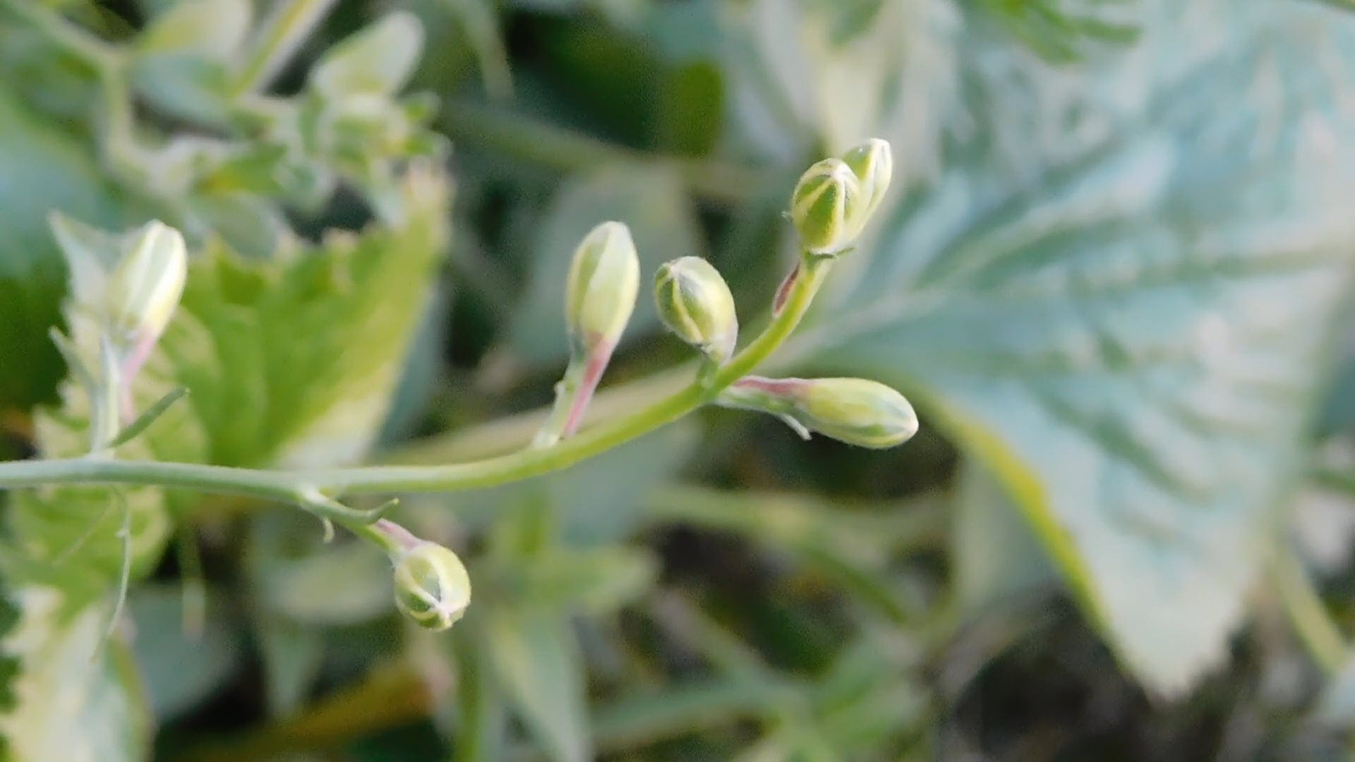 Tiny Flower Buds