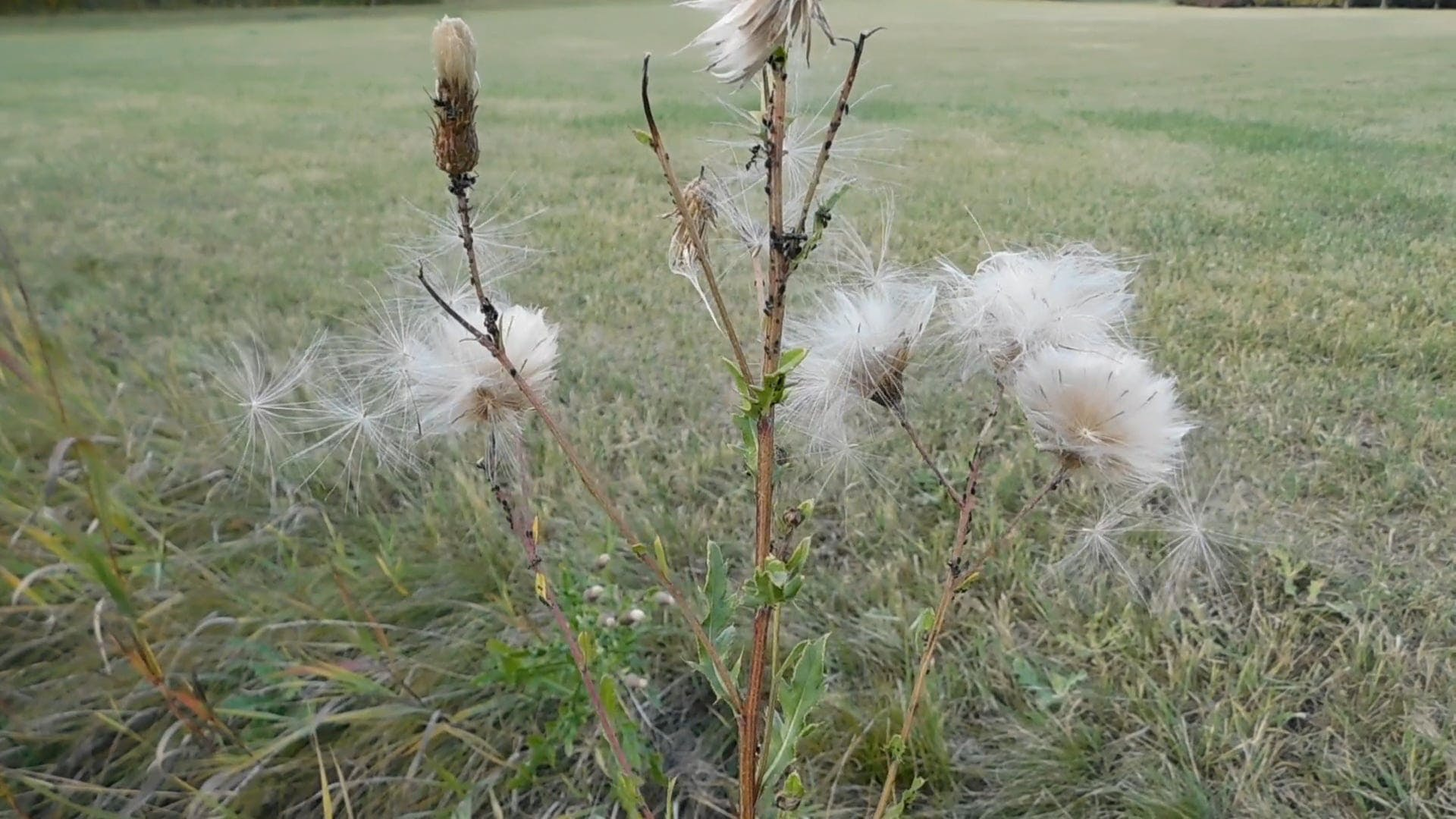 Thistle Seeds Dispersed by Wind